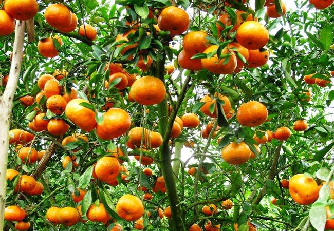 cây cam phong thủy