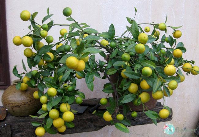 cây chanh trồng chậu