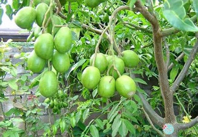 cây cóc trồng chậu