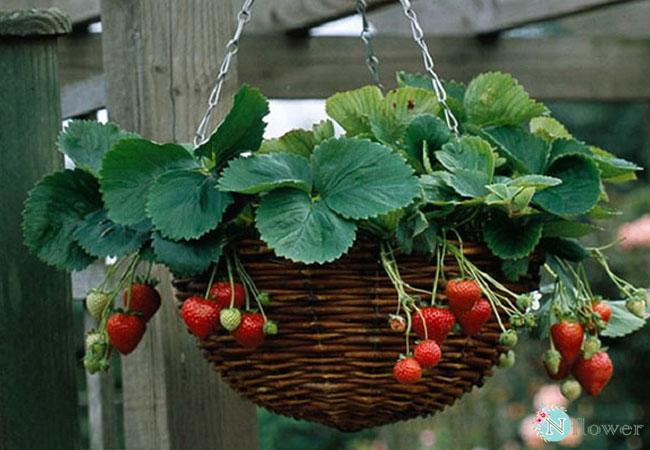 cây dâu tây trồng chậu