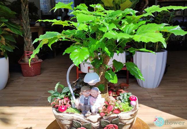 cây hạnh phúc phong thủy