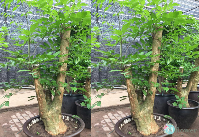 cây hạnh phúc to phong thủy