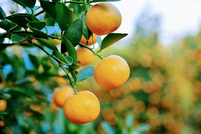 cây họ cam trong phòng ngủ