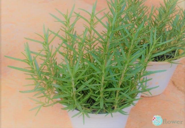 cây hương thảo phong thủy