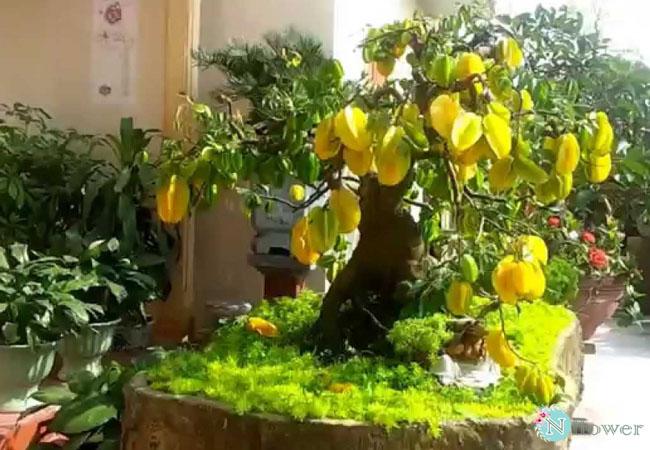 cây khế trồng chậu