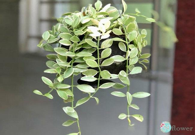 cây lan hạy dưa phong thủy
