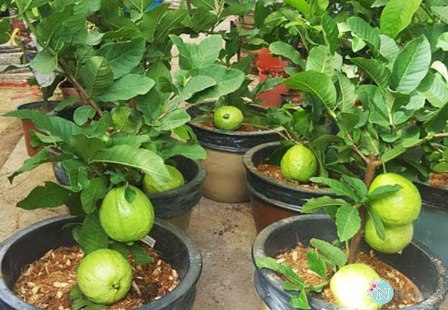 cây ổi trồng chậu