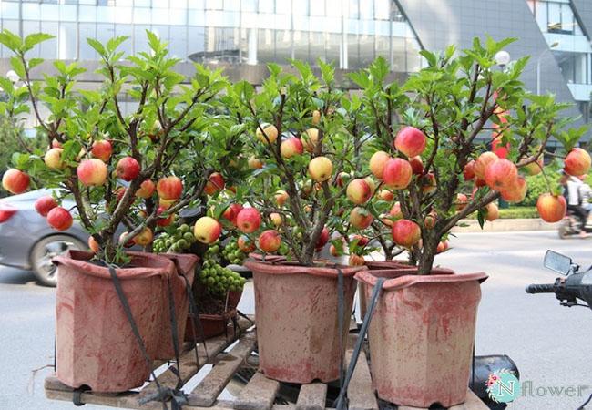 cây táo đỏ trồng chậu