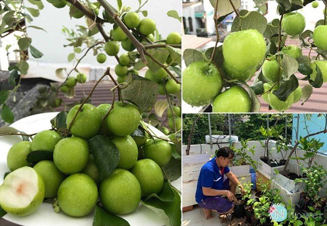cây táo xanh trồng chậu