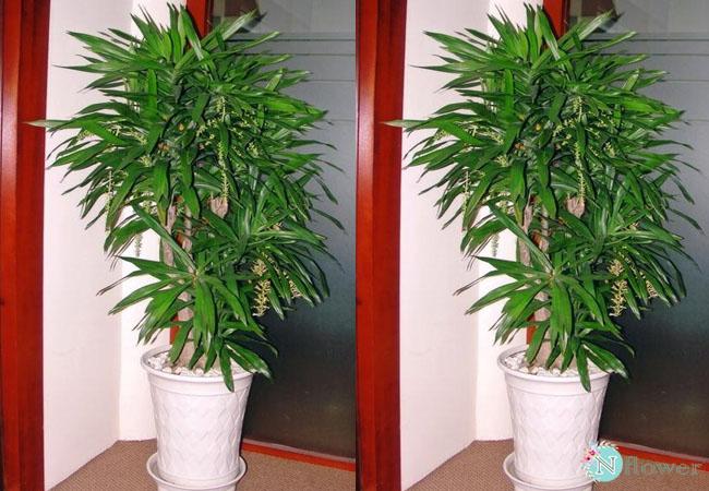 cây thanh lan phong thủy
