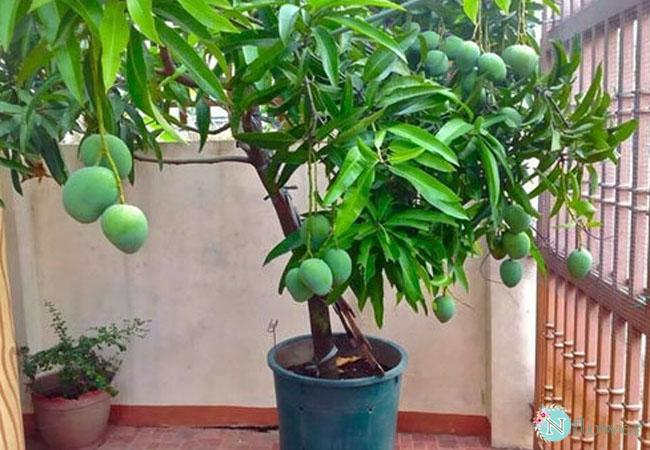 cây xoài trồng chậu