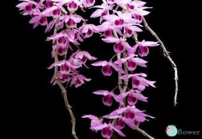 Đặc điểm hoa lan trầm