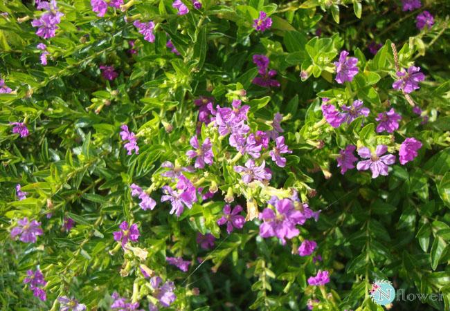 hoa cẩm chi mai nở quanh năm
