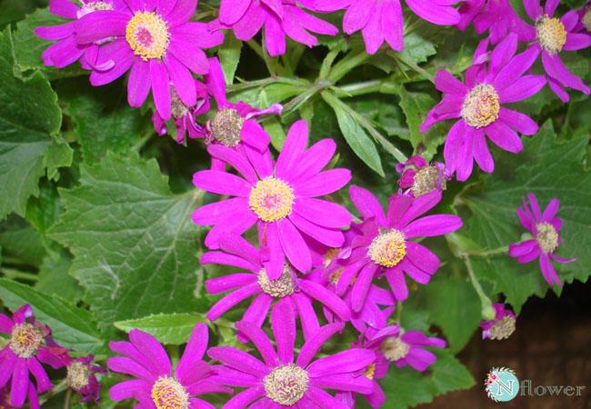 hoa cúc lá nho nở quanh năm