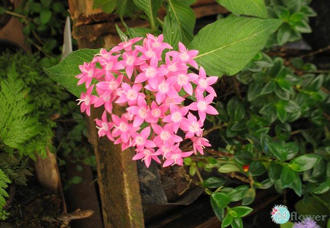 hoa diễm châu nở quanh năm