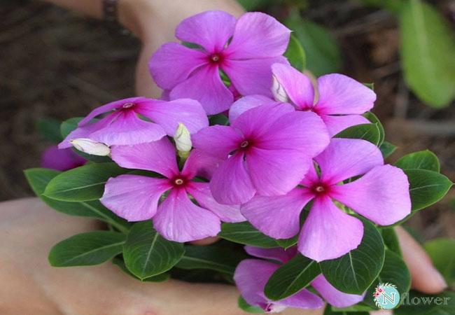 hoa dừa cạn nở quanh năm