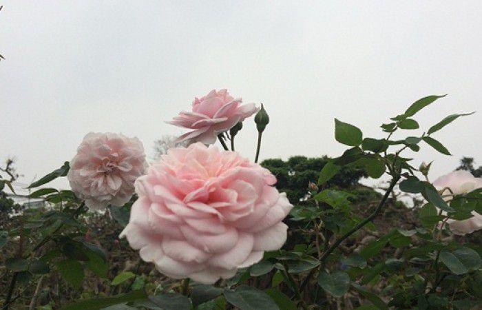 hoa hồng cổ vân khôi 4