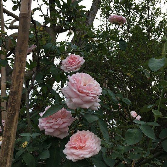hoa hồng cổ vân khôi 5