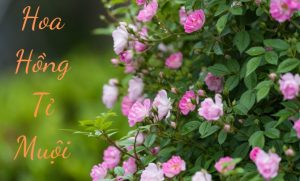 hoa hồng tỉ muội 3