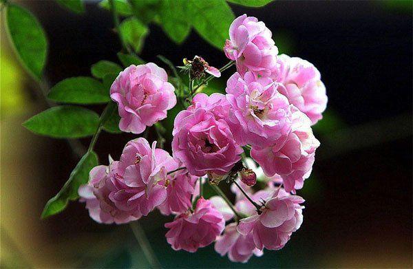 hoa hồng tỉ muội 4