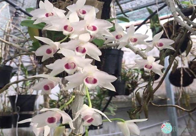 hoa lan trầm trắng