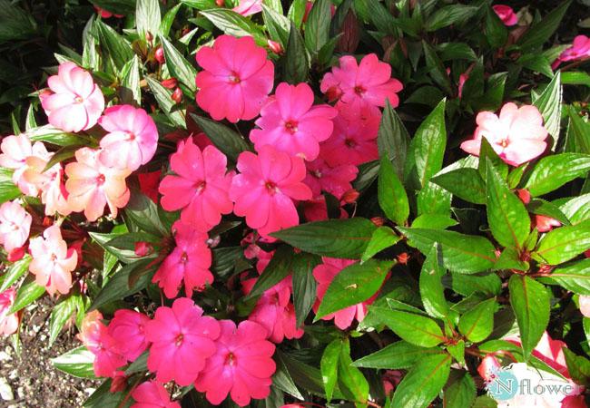 hoa mai địa thảo nở quanh năm