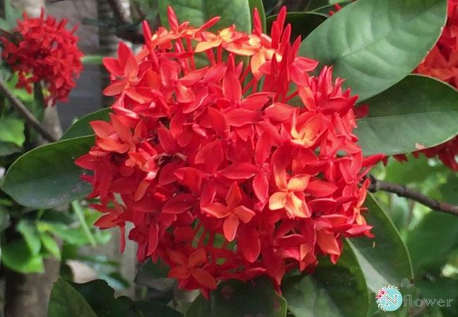 hoa mẫu đơn ta nở quanh năm