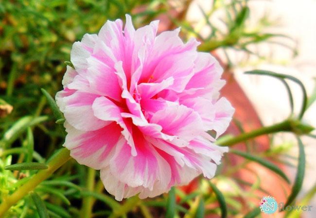 hoa mười giờ nở quanh năm