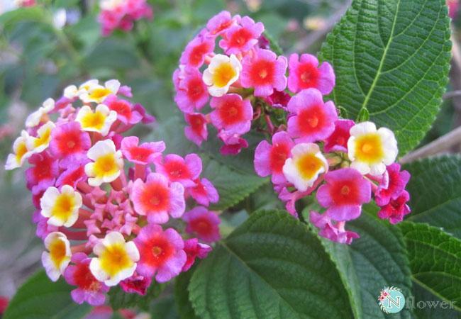 hoa ngũ sắc nở quanh năm