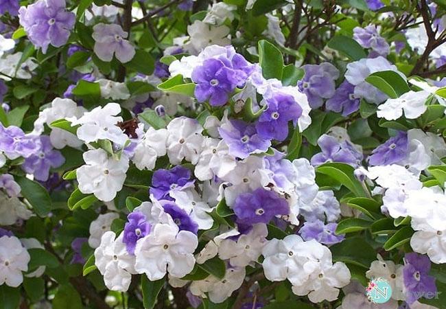 hoa nhài nhật nở quanh năm