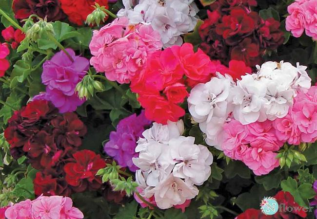 hoa phong lữ thảo nở quanh năm