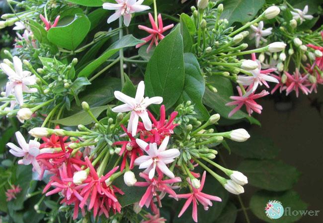 hoa sử quân tử nở quanh năm