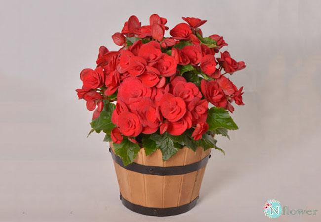 hoa thu hải đường nở quanh năm