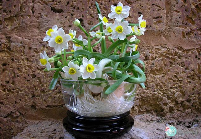 hoa thủy tiên nở quanh năm