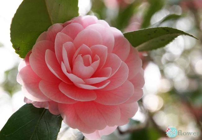 hoa trà nở quanh năm