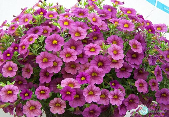 hoa triệu chuông nở quanh năm