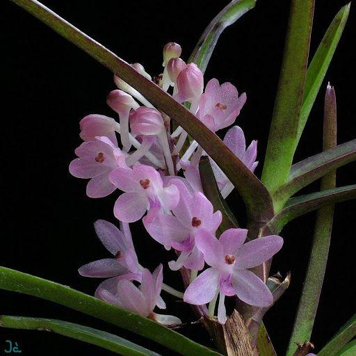 Hoa Lan Hoàng Yến - N Flower