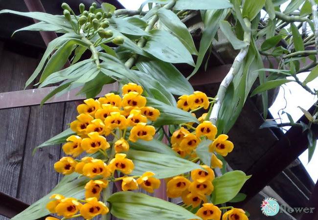 hoa phong lan trầm vàng